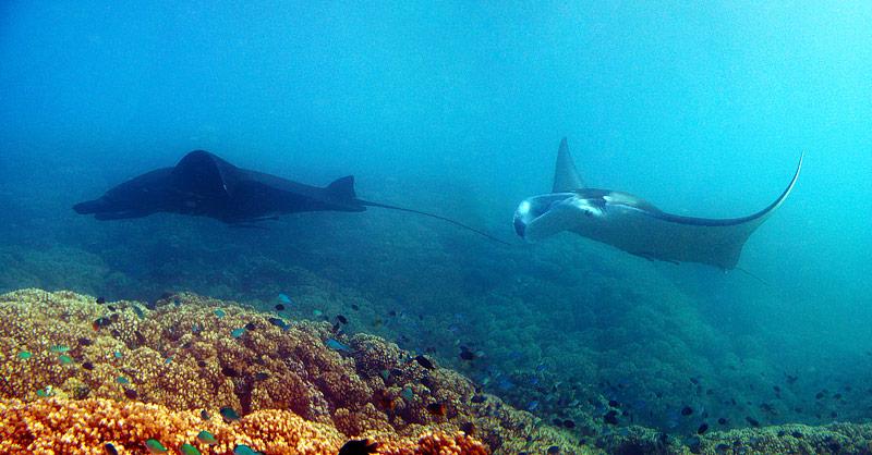 manta rays Fiji