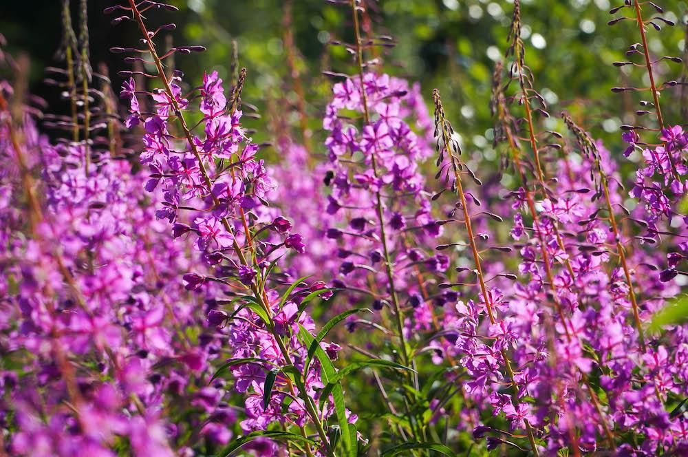 Lapland Flowers
