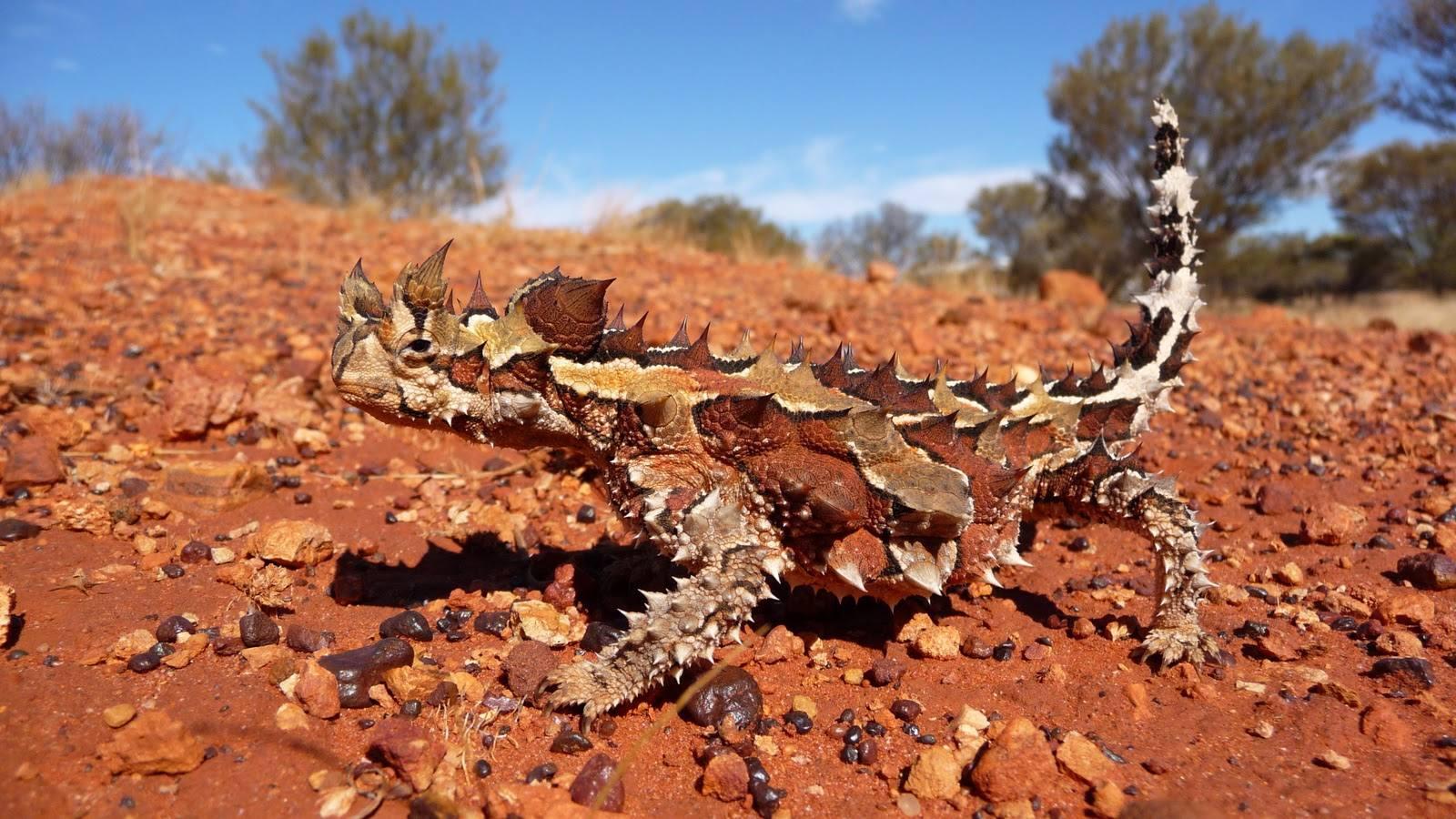 Rare Animal in Australia