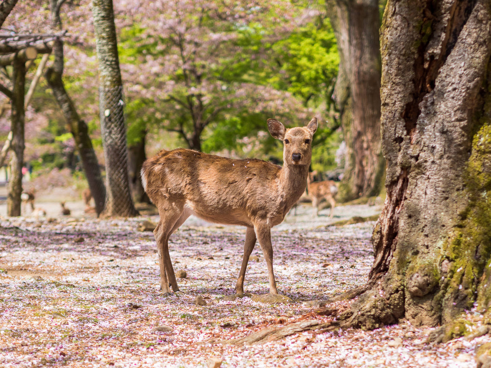 This Japanese Idiom Will Change the Way You Travel Forever - Japanese Nara Deer