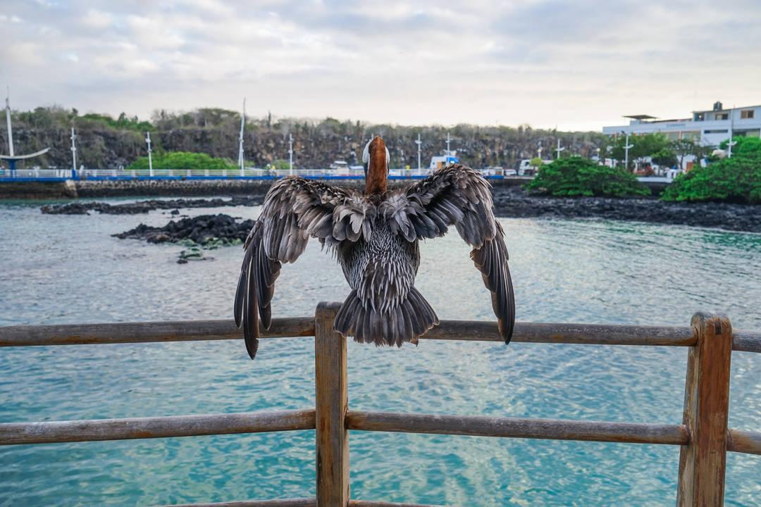 Pelican Galapagos