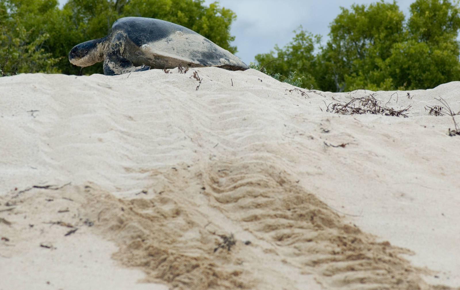Green_sea_turtle_laying_eggs_(4202525004)