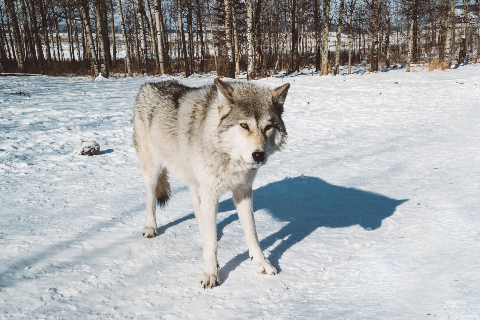 Yamnuksa Wolfdog Sanctuary Alberta Canada