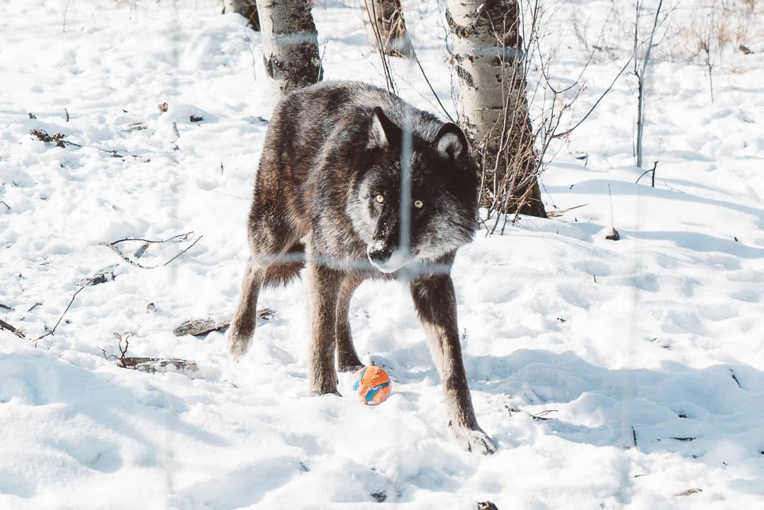 Yamnuksa Wolfdog Sanctuary_3