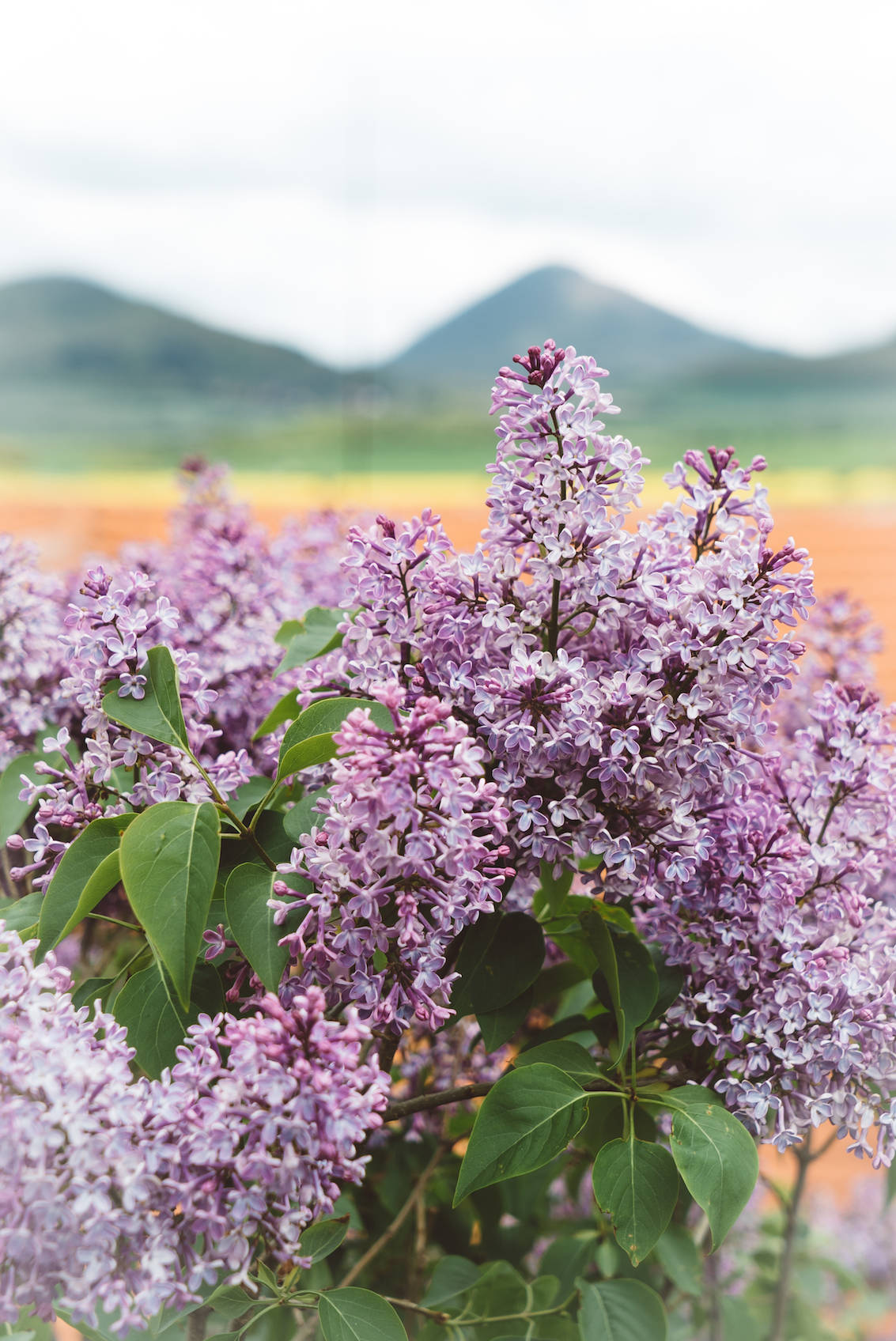 Lilacs Bohemian Highlands Czech Republic