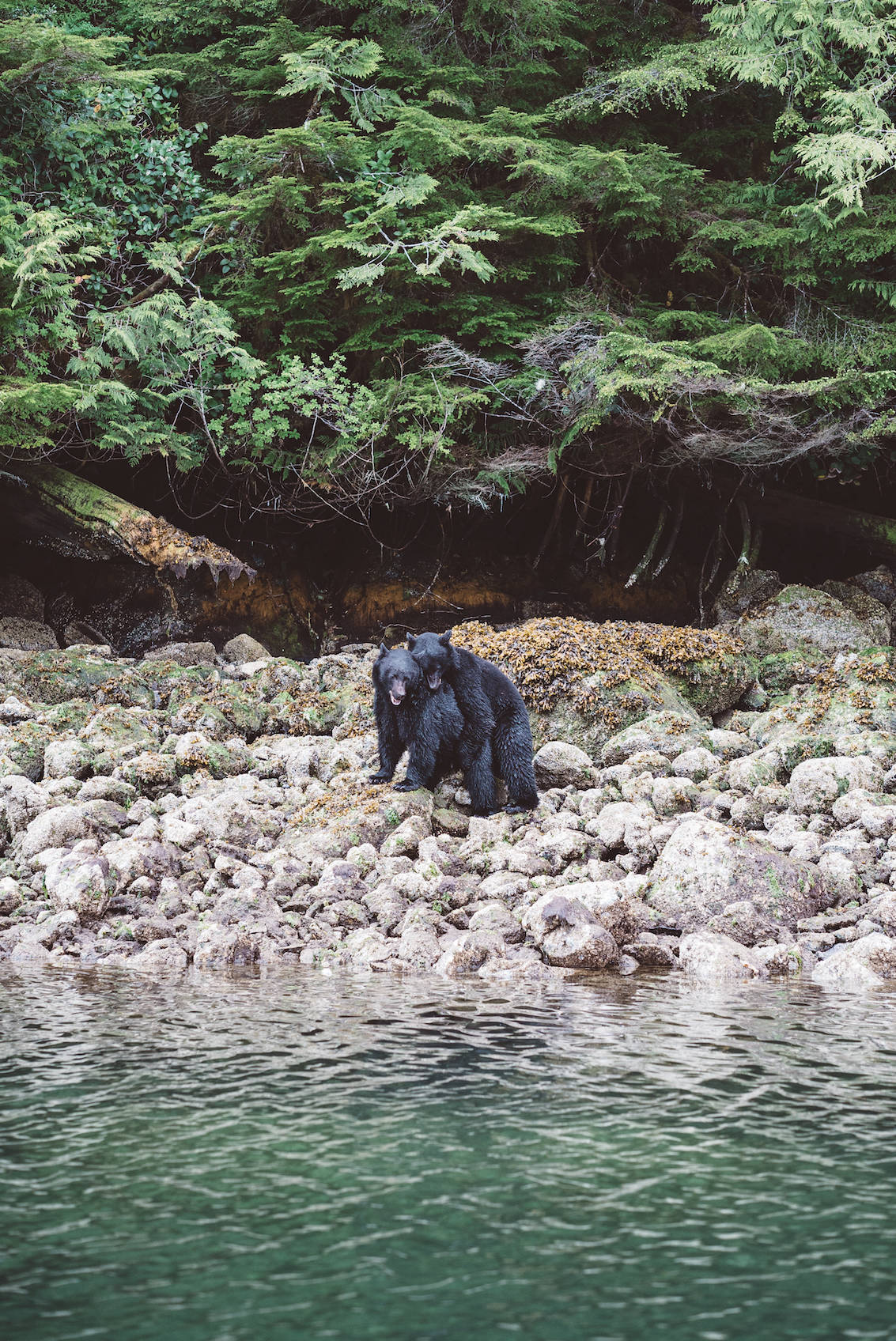 Bear Watching Tofino British Columbia_2