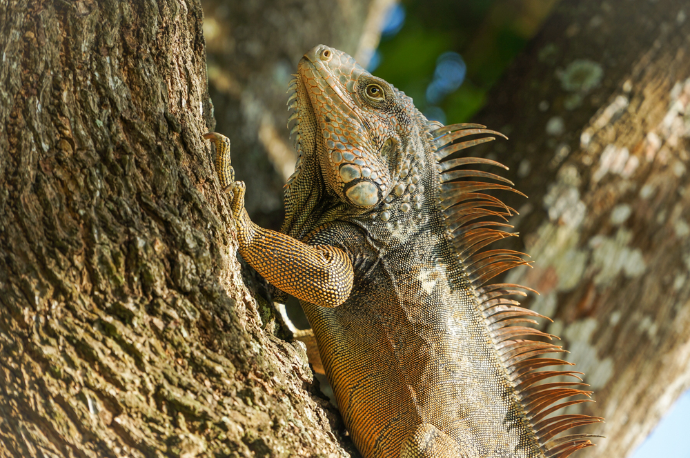 Iguana Climbing a Tree in Panama