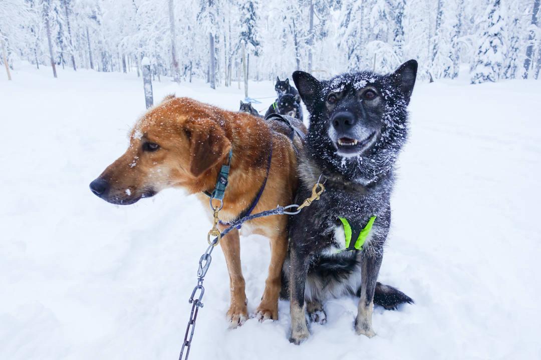 Dog Sledding Finland_2