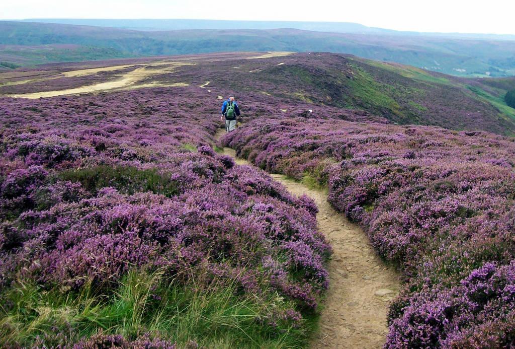 North York Moors purple flowers