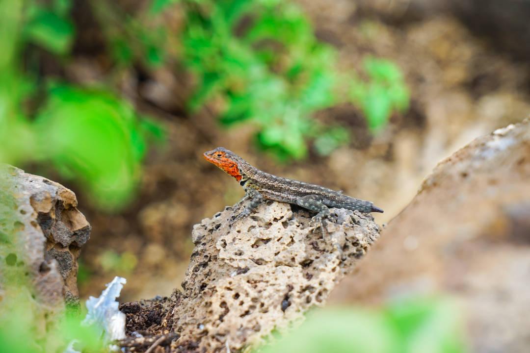 Baby Lizard Galapagos