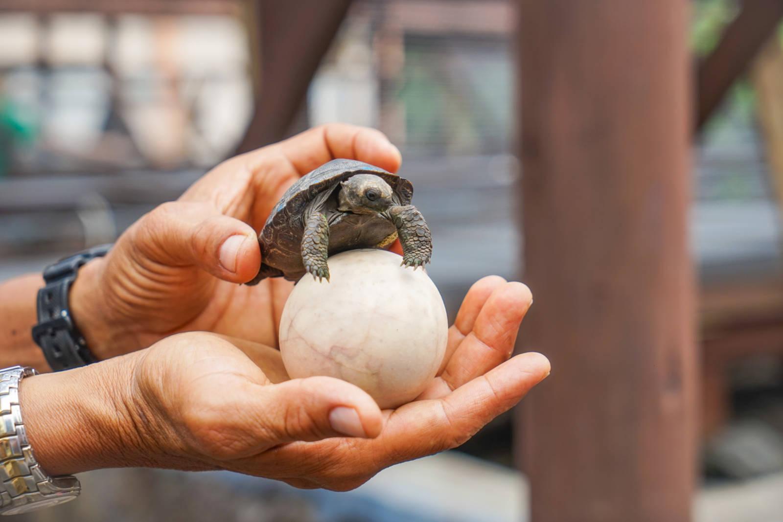 Baby Tortoise Galapagos