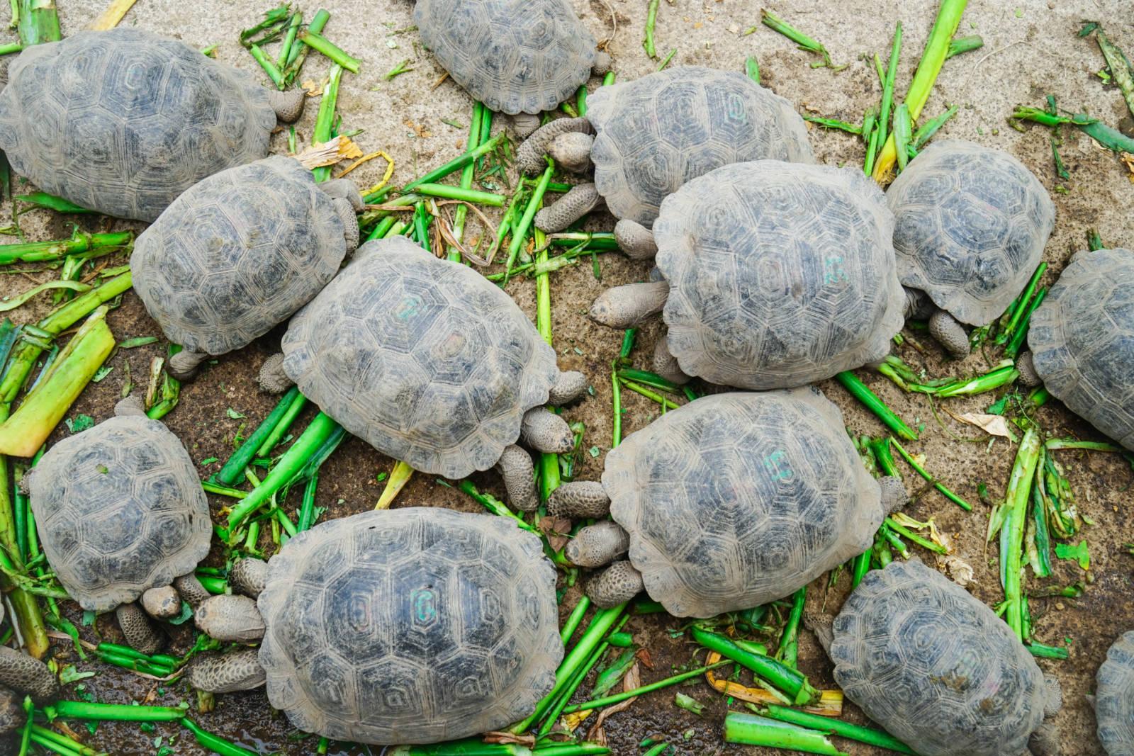 Baby Tortoise Galapagos_2