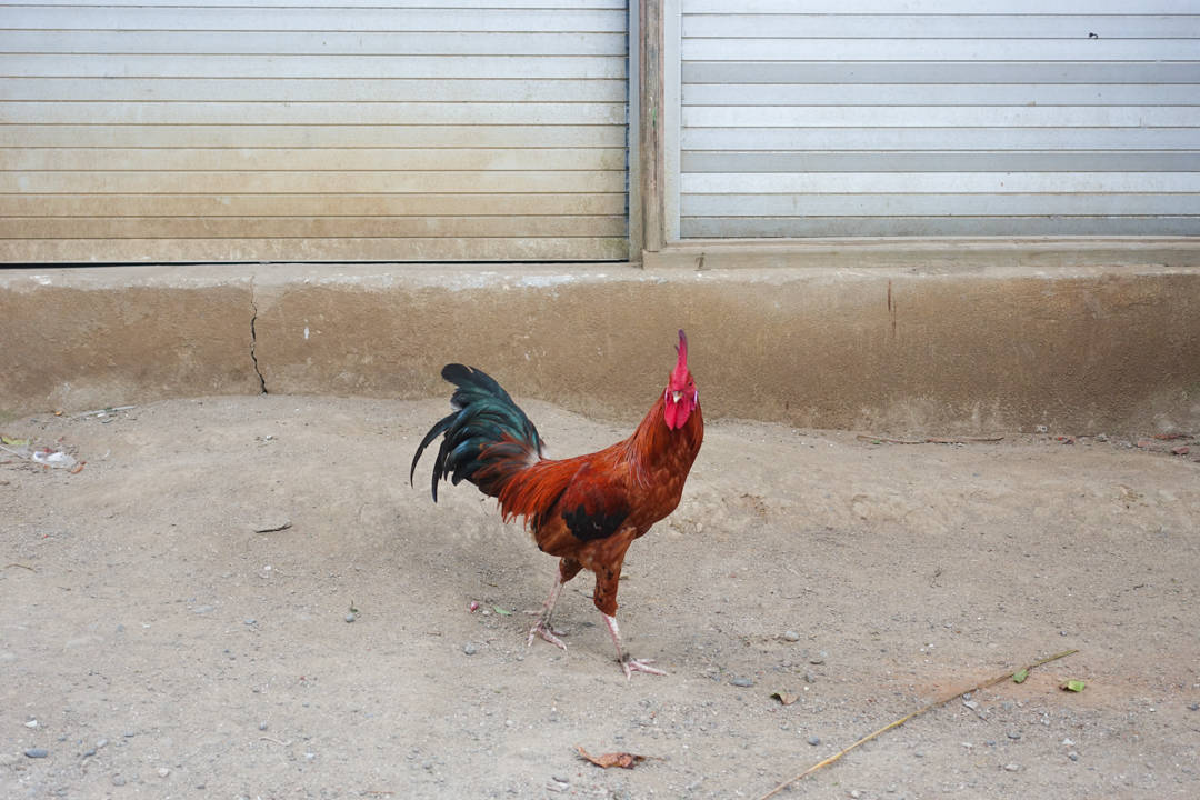 lombok-rooster