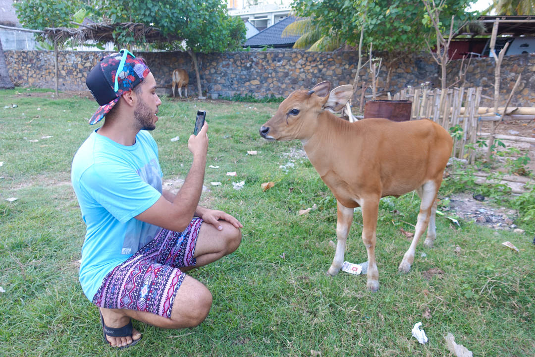 lombok-cow