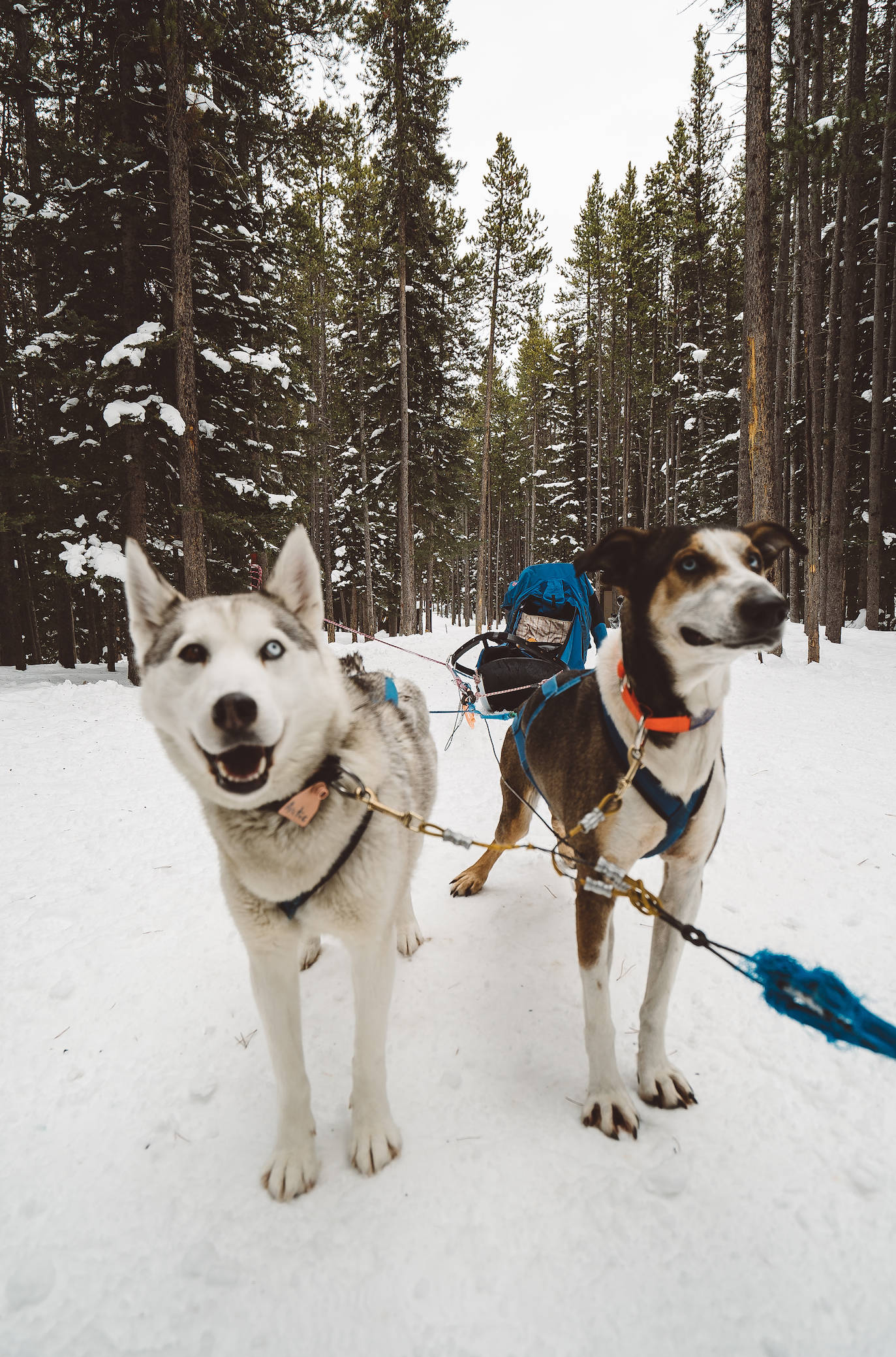 dogsledding in banff alberta