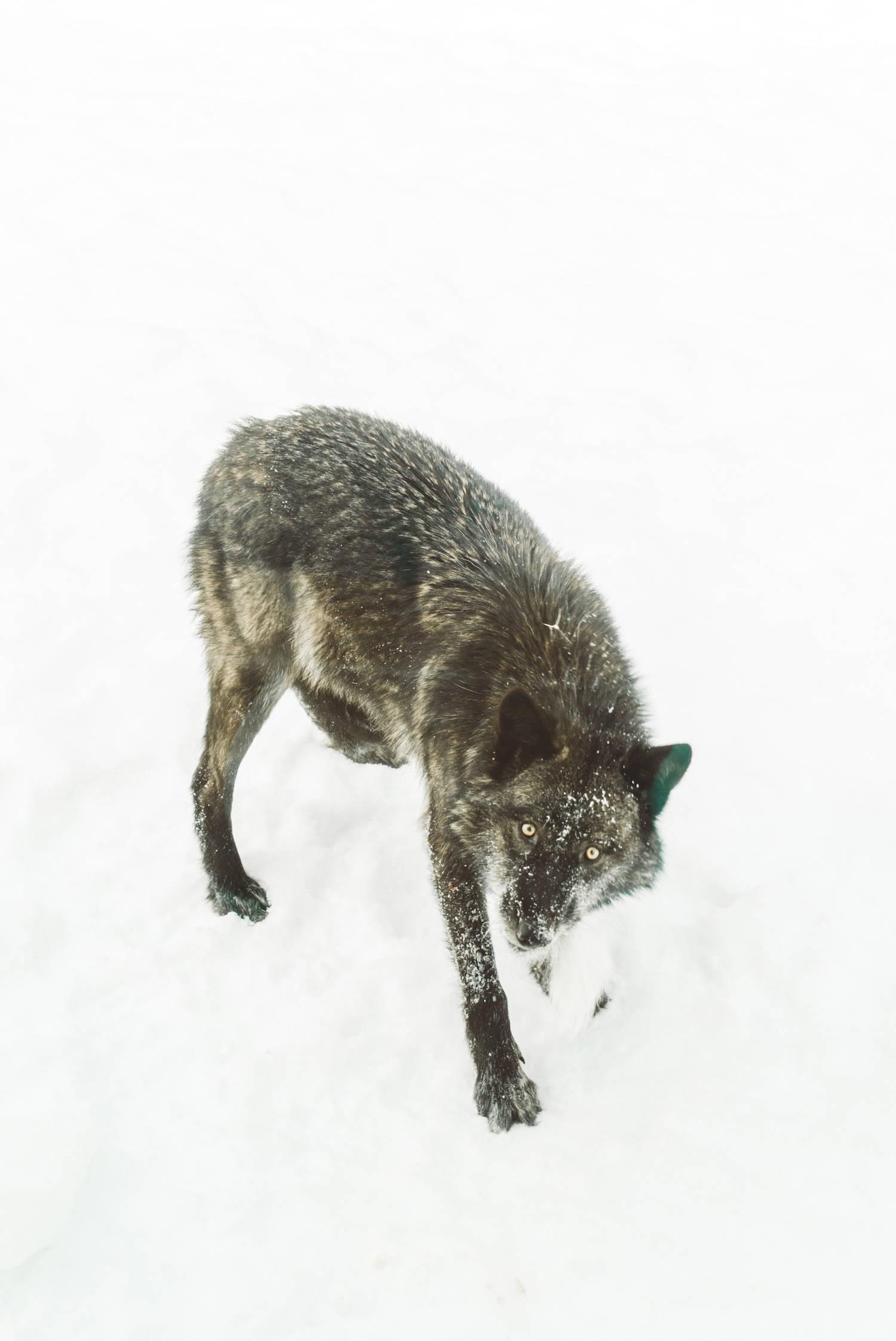 Wild Wolf in Ontario