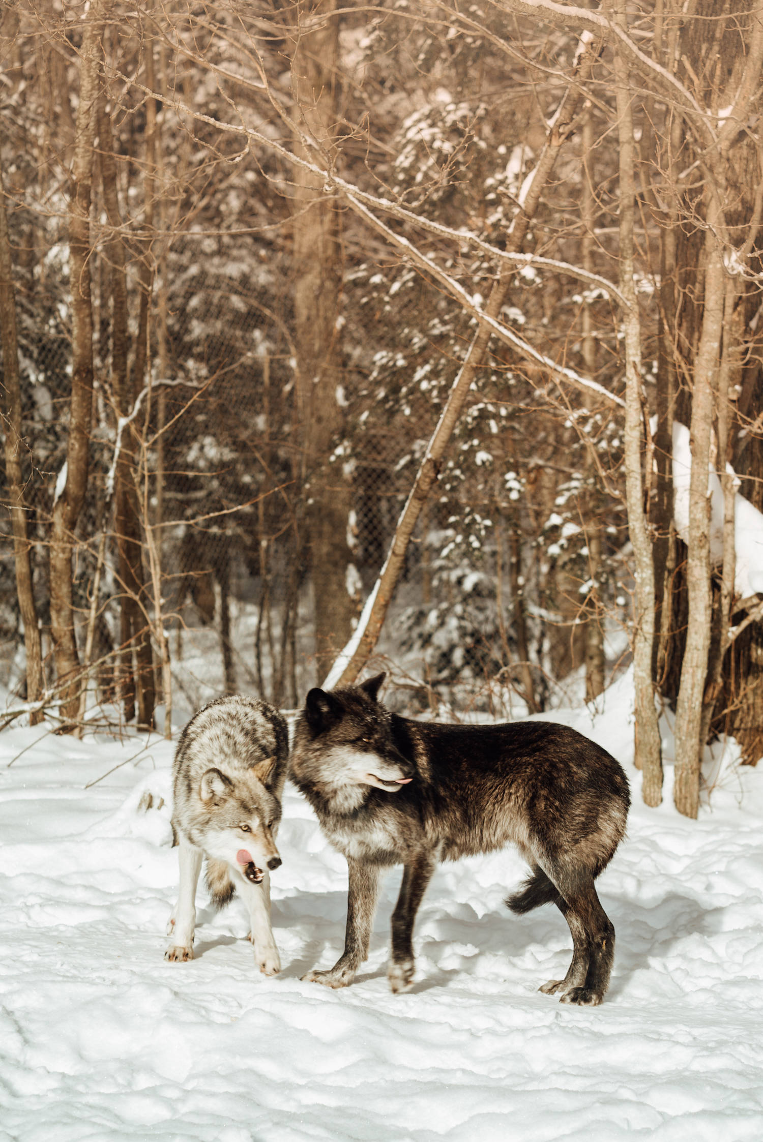 Wild Wolves in Ontario