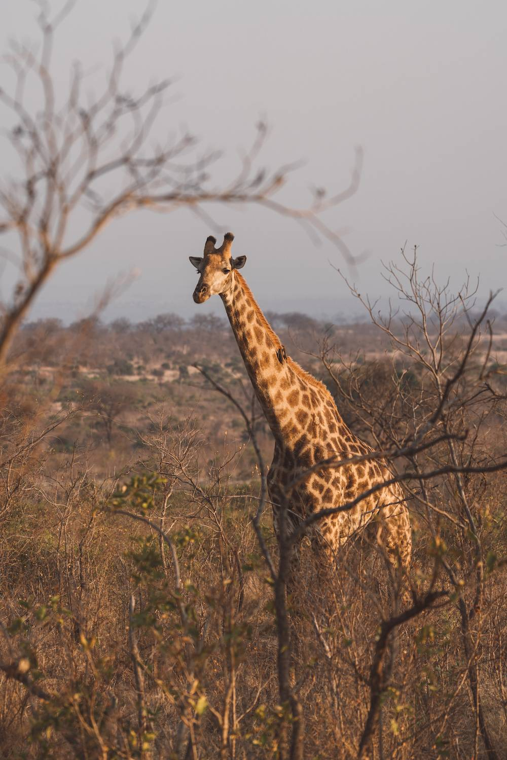 Tall giraffes in kruger national park safari