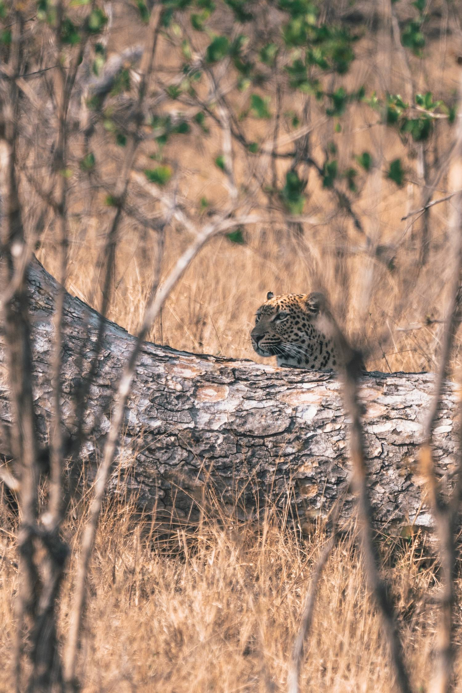Leopard hiding in kruger national park