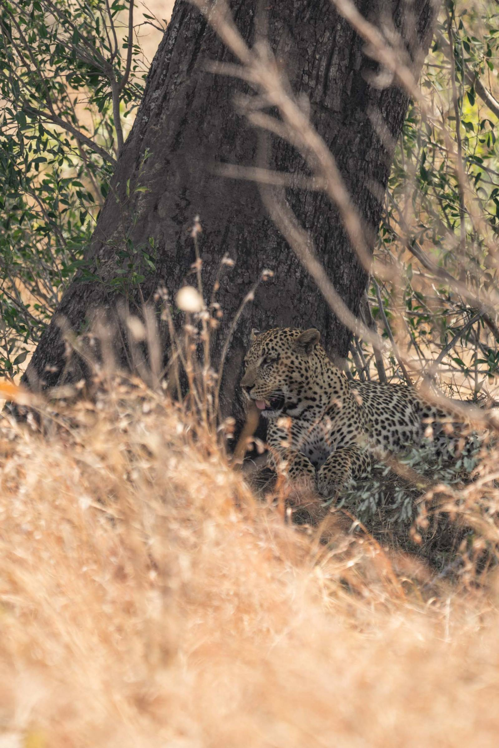 Leopards in Kruger National Park